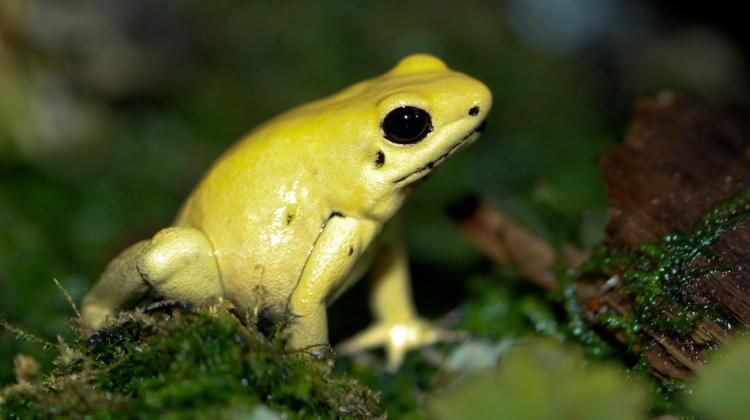 *Phyllobates terribilis* - Poison Dart Frog, by Brian Gratwicke,  [https://commons.wikimedia.org/wiki/File:Golden_Poison_dart_frog_Phyllobates_terribilis.jpg]
