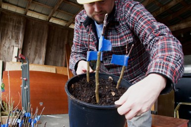 Brendan inspects a pot of newly grafted fruit trees. EMELIE PEACOCK PHOTO.