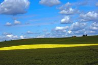 A patch of mustard interrupts a field of Alfalfa in the rolling hills of the Willamette Valley, Oregon.