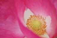 Pink Poppy Closeup
