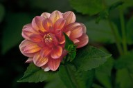 Emerald Studio Photography, Peach Dahlia, Digital Photograph