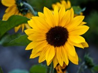 Vince Ferguson - Sunflower - Digital Image