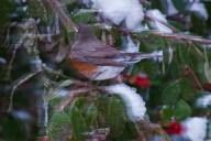Vince Ferguson - Blurred Robin 01 - Digital Image