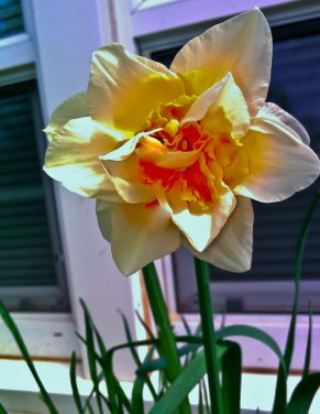 Vince Ferguson - Orange Daffodil 02 - Digital Image