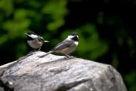 Vince Ferguson - Chickadees - Digital Image