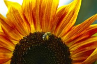 Vince Ferguson - Sunflower and Bee - Digital Image