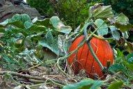 Vince Ferguson - Pumpkin Vine - Digital Image