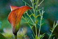 Vince Ferguson - Orange Calla Lily - Digital Image