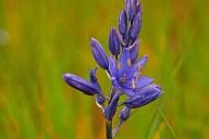 C. Vincent Ferguson - Camas Flower - Digital Image