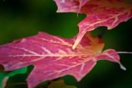 C. Vincent Ferguson - Red Sugar Maple 03 - Digital Image