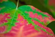 C. Vincent Ferguson - Sugar Maple Abstract - Digital Image