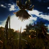Flower of Clover ©