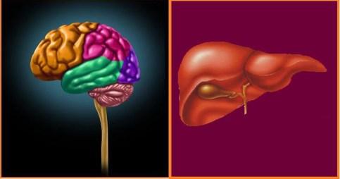 cerebro-e-higado-1