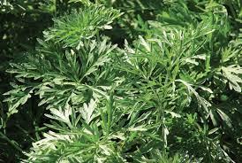 Artemisia Plant