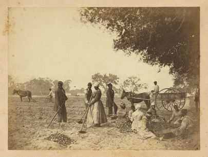 Members of a plantation in the Port Royal experiment planting sweet potatoes.