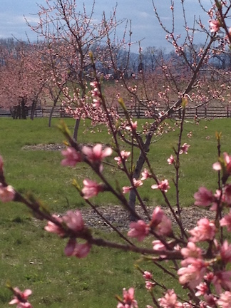 Peach Orchard March 2016