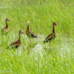 Black-bellied Whistling-Ducks on the Wader's Trail at Estero Llano Grande State Park