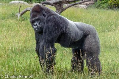 Gorilla at the he Sedgwick County Zoo gorilla enclosure