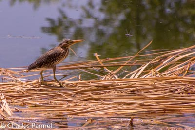 Fledgling kingfisher eyes a dragonfly at the lagoons