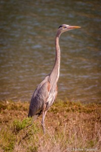 Great Blue Heron on the Harbor Peninsula Trail