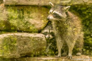 Raccoons at the West Virginia Wildlife Center