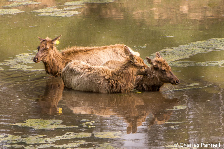 Elk taking a dip at the West Virginia Wildlife Center
