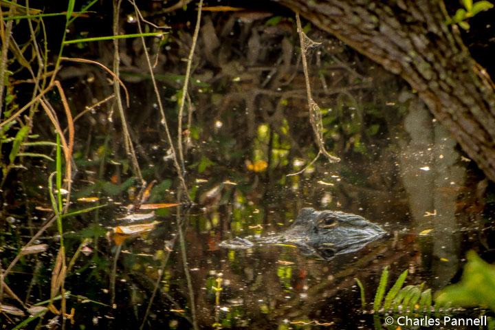 Alligator in Everglades National Park