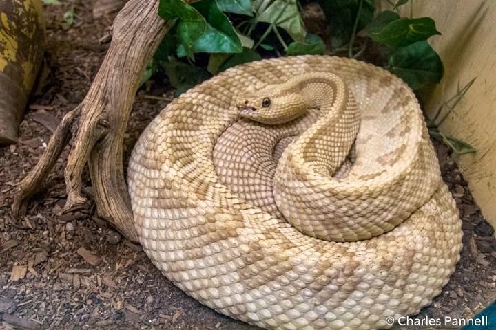 Northwestern Neotropical Rattlesnake at the American International Rattlesnake Museum