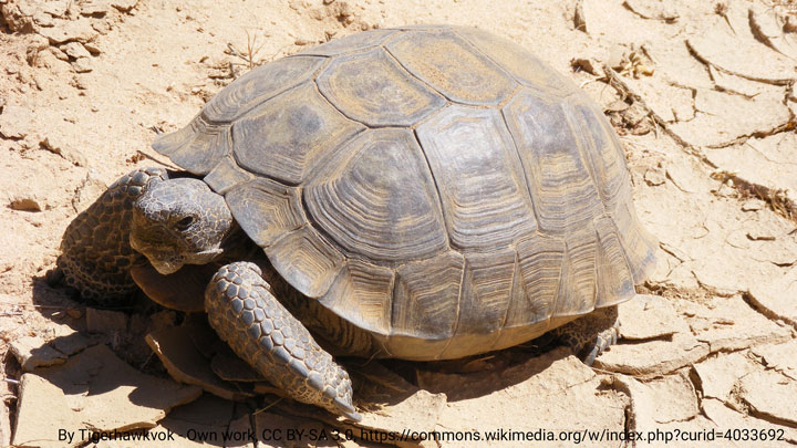 tortise-1
