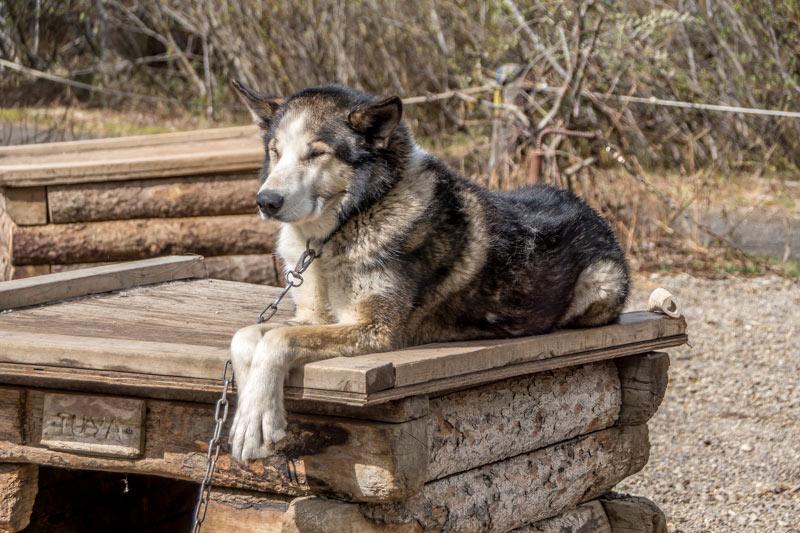 Sled dog awaits the sled dog demonstration