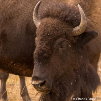 Head shot of a bison