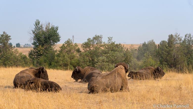 Bison resting in the National Bison Range, Montana
