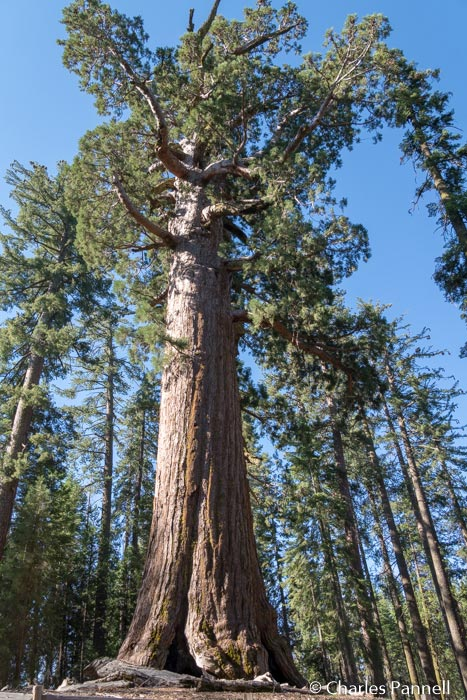 The Grizzly Giant in Mariposa Grove at Yosemite National Park