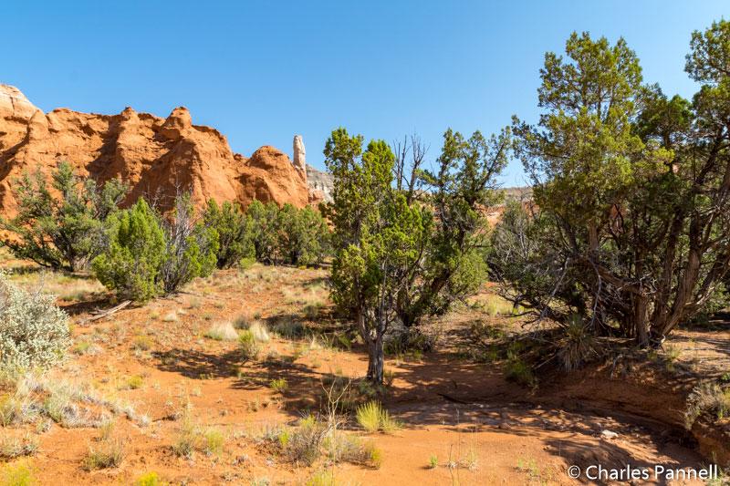 Pinon trees on the Kodachrome Nature Trail
