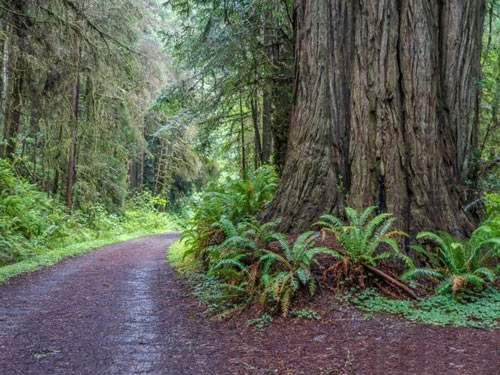 California's Accessible Coastal Redwoods