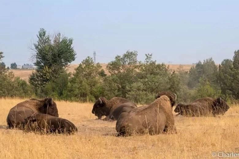 "<a href=""https://emerginghorizons.com/where-the-bison-roam/"">Where the Bison Roam</a>"