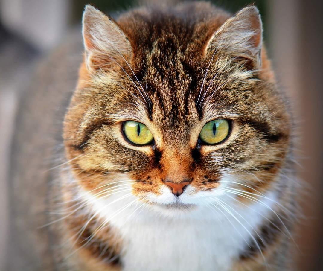 Por qué los gatos se escapan