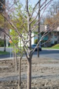 The line of new trees next to N. Maple.