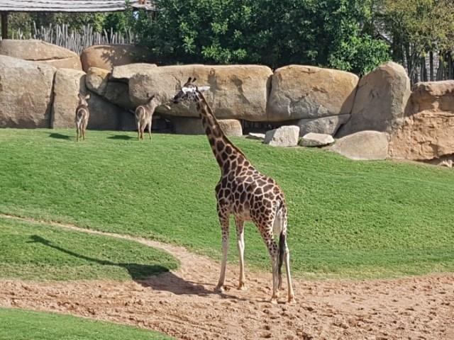 bioparc-valencia-girafa