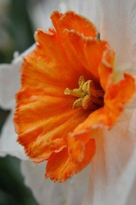 daffodilcenter3