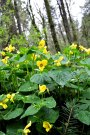yellowpansey