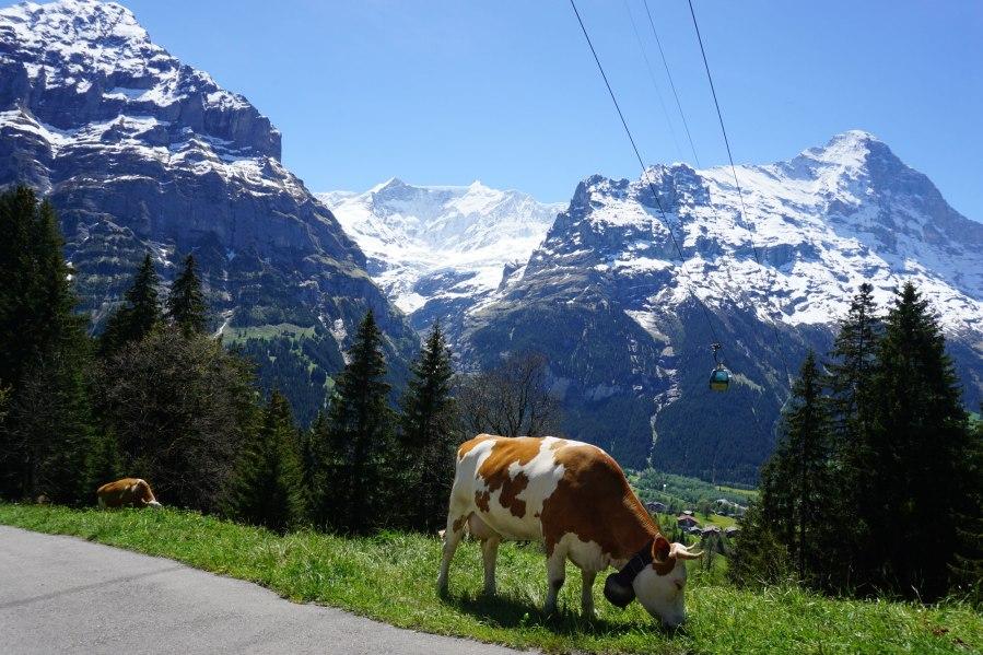 Sveitsin lehmat 2017