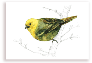 emilie geant, new zealand, , bird, painting, watercolor, New Zealand, native, art, print, poster, feather, yellowhead