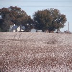 View over a cotton field that is to be harvested in 3 days