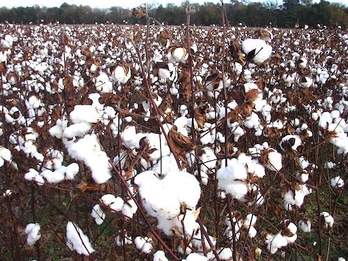 Unharvested cotton
