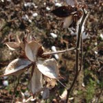 An empty cotton pod