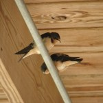 Teenage barn swallows getting ready to fly outside the cooking studio