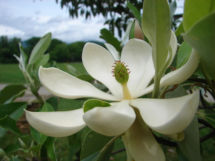 A bay magnolia blooming outside the cooking studio