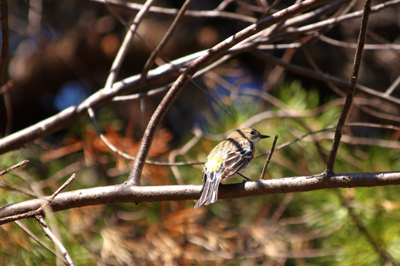 Yellow Rumped Warbler - Back
