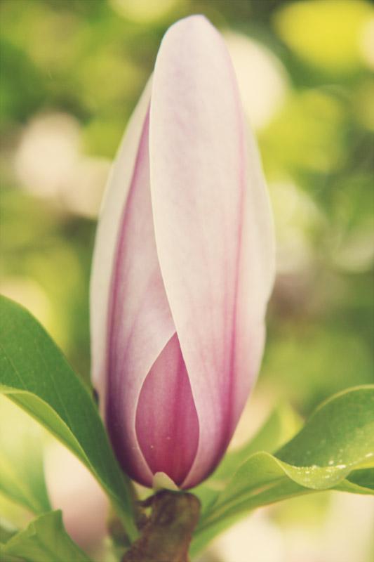 Japanese Saucer Magnolia - closed